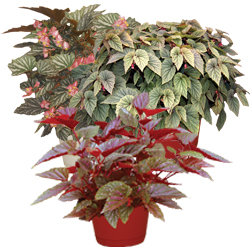 Image Of Angel Wing Begonia Assorted