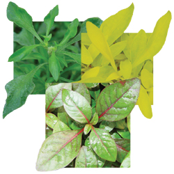 Image Of Alternanthera Assorted
