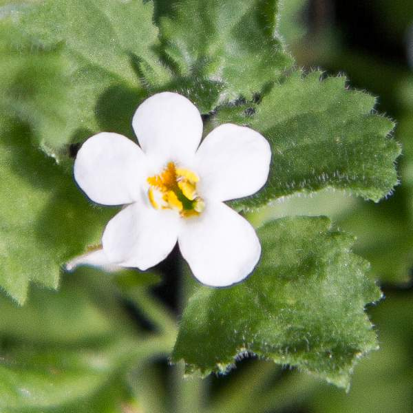 Image Of Bacopa Carolina Big Bloom White