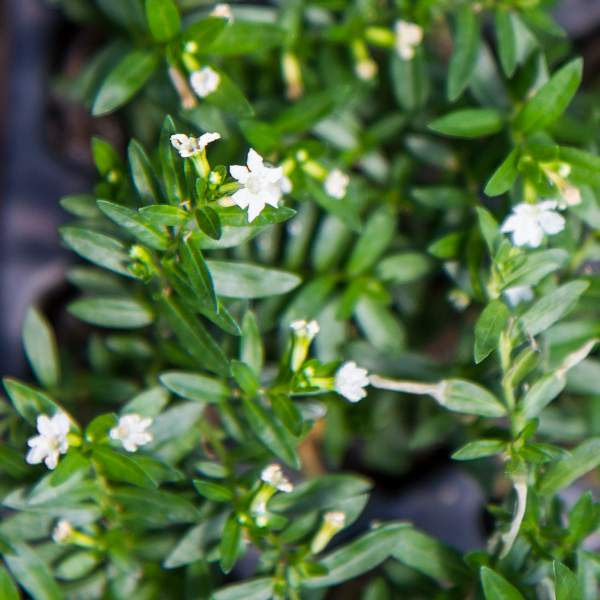 Image Of Cuphea Mexican Heather White