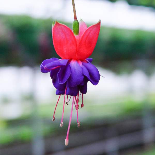 Image Of Fuchsia Dark Eyes