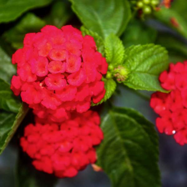Image Of Lantana Florida Red