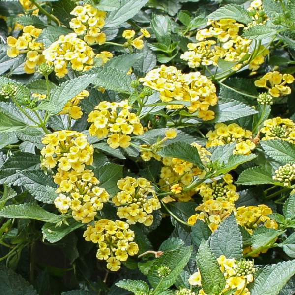 Image Of Lantana Megans Gold