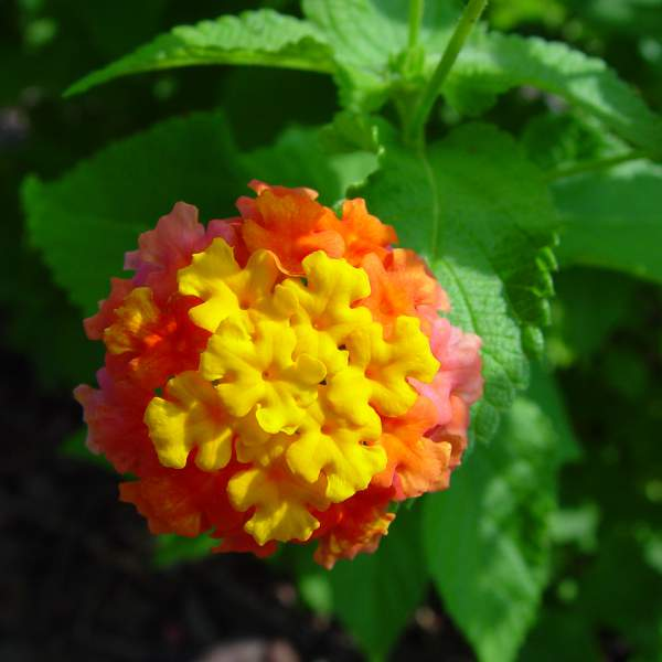 Image Of Lantana Miss Huff
