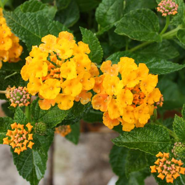 Image Of Lantana Spreading Gold