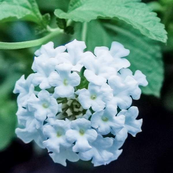 Image Of Lantana Upright White
