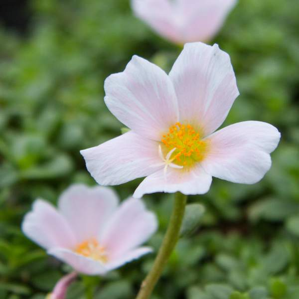 Image Of Purslane Big Bloom Light Pink