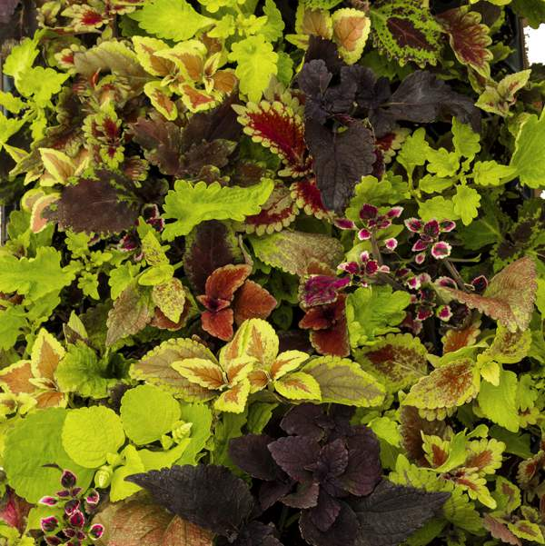 Image Of Coleus All Mixed Up