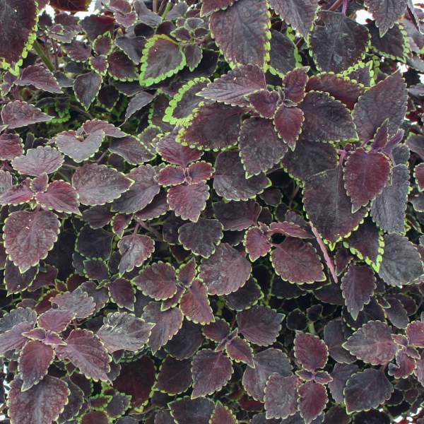 Image Of Coleus Trailing Burgundy