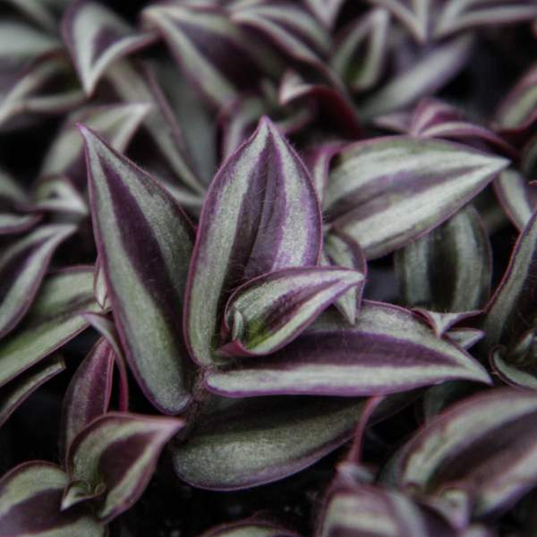 Image Of Wandering Jew Purple